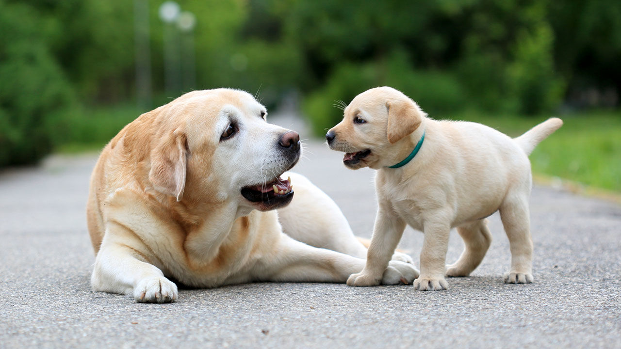 Pets Puppies For Sale In Surat Pets Animals Classifieds Ads Surat